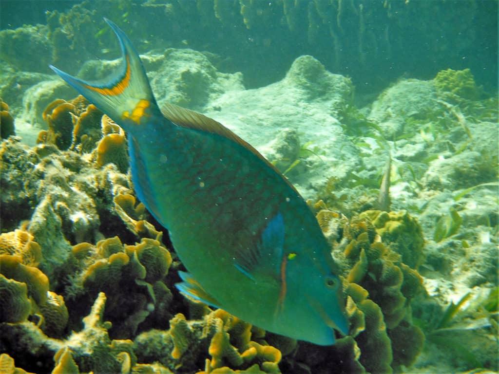 Parrottfish feeding