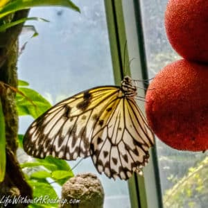 Nearly opaque butterfly in sunlight on red feeding balls