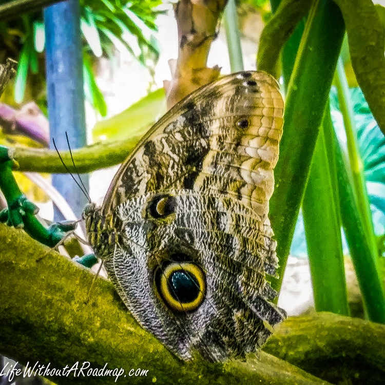 Butterfly with spots like eyes
