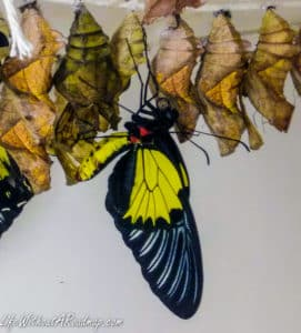 Black and yellow butterfly emerging from cocoon