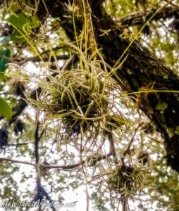 Spanish moss growing from oak tree