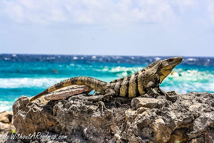 Iguana sunning on Myan ruin with deep blue ocean in background