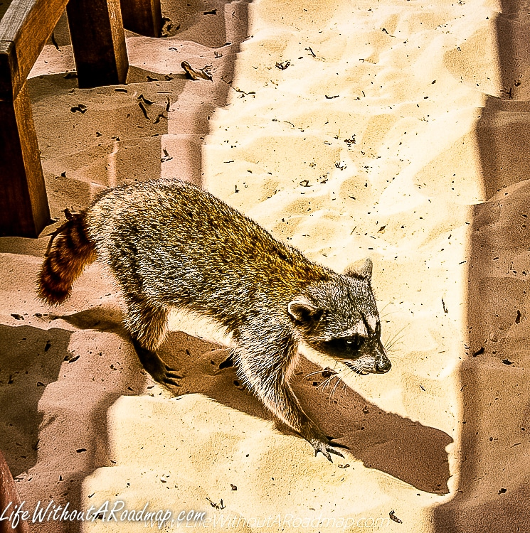 Racoon walking in sand at beach club in Mexico