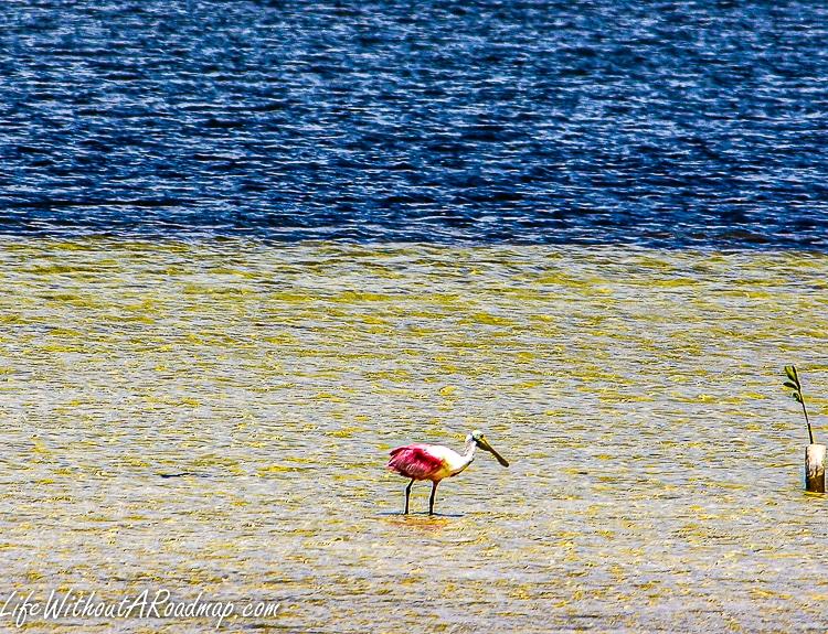 Roseate Spoon bill bird feeding in water in Cozumel, Mexico